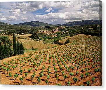 Pastoral Vineyard Canvas Print - France, Darban-corbieres, Aude by David Barnes