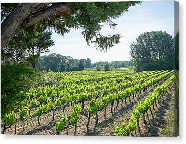 Grapevines Canvas Print - France, St Remy, Countryside Vineyards by Emily Wilson