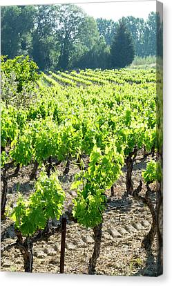 Grapevines Canvas Print - France, St Remy, Vineyards Luberon by Emily Wilson