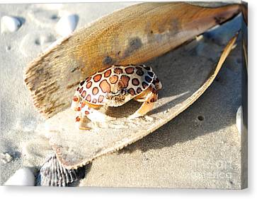 Frank The Spotted Crab Of Anna Maria Canvas Print by Margie Amberge