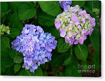 Fraternal Twin Hydrangeas Canvas Print