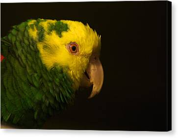 Canvas Print featuring the photograph Fred The Amazon Parrot by Melissa Messick