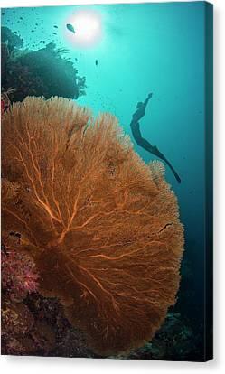 Free Diver Swimming Over Sea Fan Canvas Print