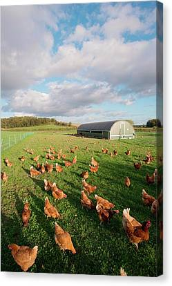 Healthy-lifestyle Canvas Print - Free Range Chickens by Dr. John Brackenbury