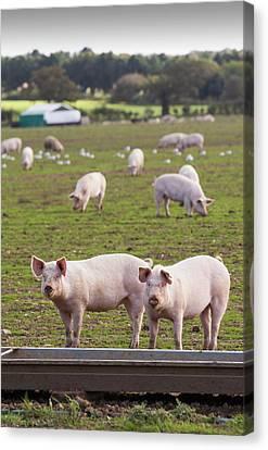 Free Range Pigs On A Farm Canvas Print by Ashley Cooper