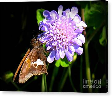 Silver Spotted Skipper Canvas Print by Patti Whitten