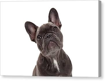 French Bulldog Closeup Canvas Print