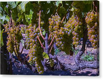 French Colombard Wine Grapes Canvas Print by Garry Gay