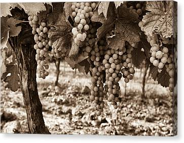 French Grapes - Toned Canvas Print by Georgia Fowler