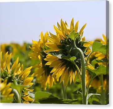 French Sunflowers Canvas Print by Georgia Fowler