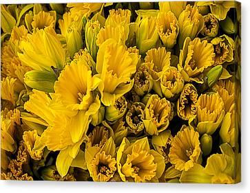Fresh Daffodils  Canvas Print by Garry Gay