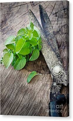 Fresh Harvested Aromatic Mint Canvas Print by Mythja  Photography