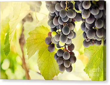 Fresh Ripe Grapes Canvas Print by Mythja  Photography