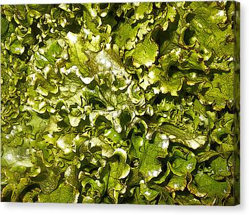Fresh Romaine Canvas Print by Sherry Dooley