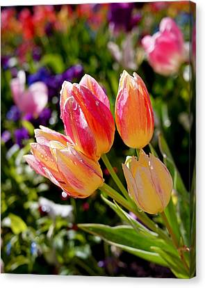 Fresh Tulips Canvas Print by Rona Black