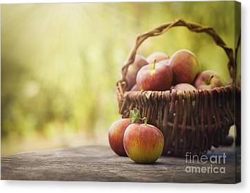Freshly Harvested Apples Canvas Print