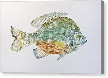Freshwater Bluegill Canvas Print by Nancy Gorr