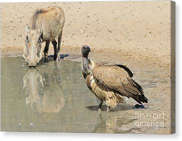 Friend Or Foe Canvas Print by Hermanus A Alberts