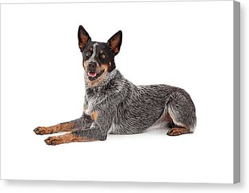 Cattle Dog Canvas Print - Friendly Australian Cattle Dog Laying by Susan Schmitz