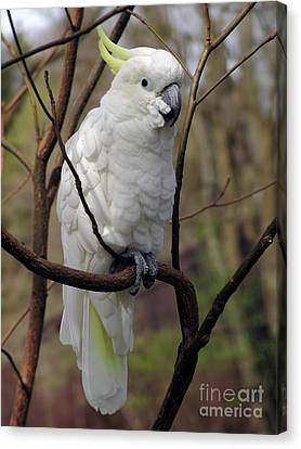 Feathers Canvas Print - Friendly Cockatoo by Judy Whitton