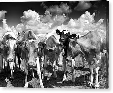 Friendly Cows  Canvas Print by Tim Gainey