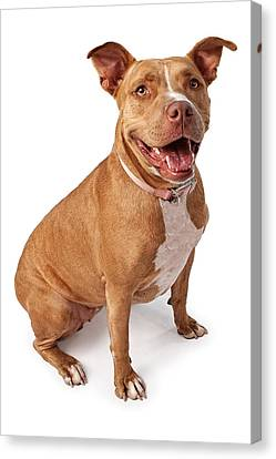 Friendly Pit Bull Canvas Print by Susan Schmitz
