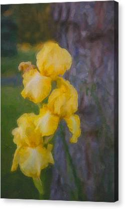 Friendly Yellow Irises Canvas Print by Omaste Witkowski