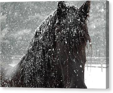 Friesian Snow Canvas Print by Fran J Scott