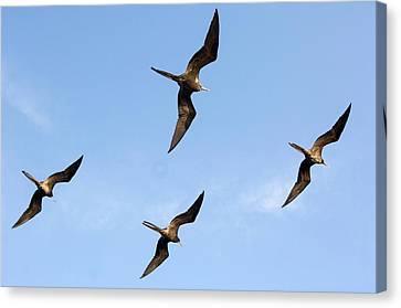 Frigatebirds In Flight Canvas Print