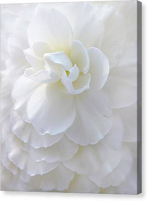 Frilly Ivory Begonia Flower Canvas Print by Jennie Marie Schell