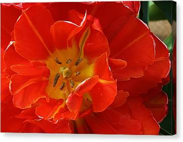 Frilly Tulip Canvas Print by Bruce Bley