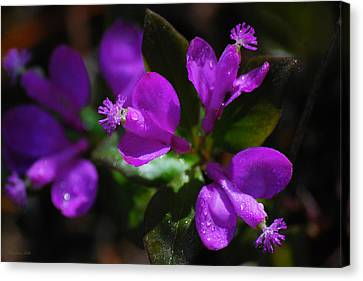 Fringed Polygala Canvas Print by Christina Rollo