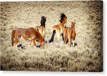 Frisky Mustangs Canvas Print