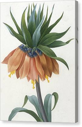 Close Up Floral Canvas Print - Fritillaire Imperiale by Pierre Joseph Redoute