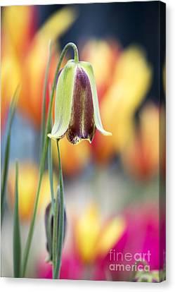 Fritillaria Graeca Thessala Canvas Print