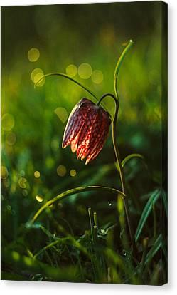 Fritillaria Meleagris Canvas Print by Davorin Mance