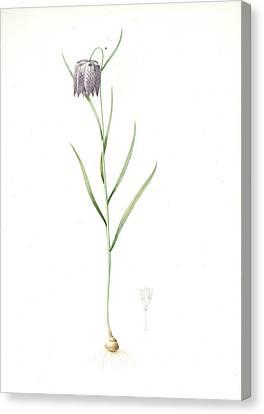 Fritillaria Meleagris, Fritillaire Pintade Snakehead Canvas Print by Artokoloro
