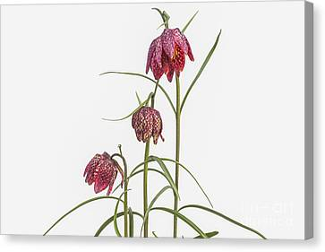 Fritillaria Meleagris On White Canvas Print by Patricia Hofmeester