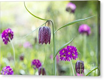 Fritillary And Primula  Canvas Print by Tim Gainey