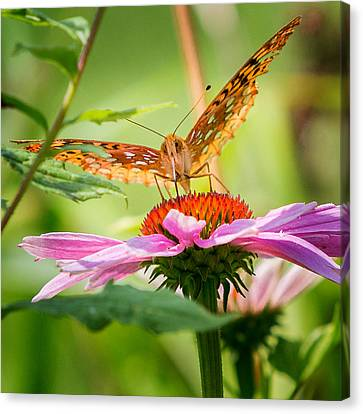 Summer Canvas Print - Fritillary Butterfly by Bill Wakeley