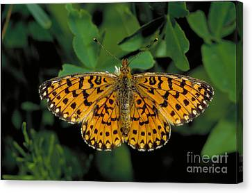 Fritillary Butterfly Canvas Print by Larry West