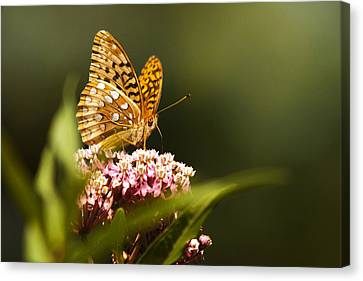 Fritillary Butterfly On Pink Milkweed Flower Canvas Print by Christina Rollo