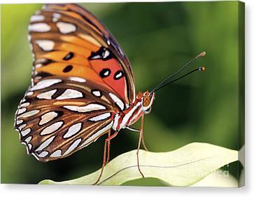 Fritillary Butterfly Canvas Print