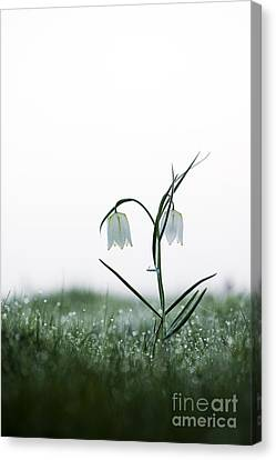 Fritillary In The Mist Canvas Print by Tim Gainey