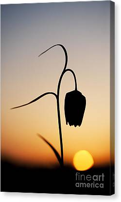 Fritillary Sunset Canvas Print by Tim Gainey