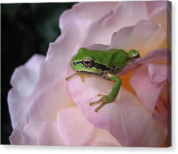 Frog And Rose Photo 3 Canvas Print