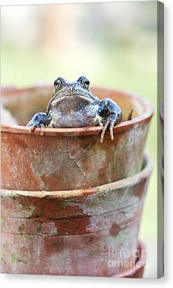 Frog In A Pot Canvas Print by Tim Gainey