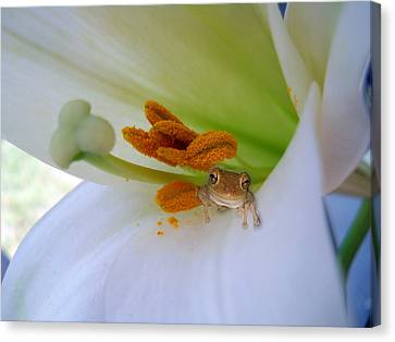 Frog In The Lily Canvas Print