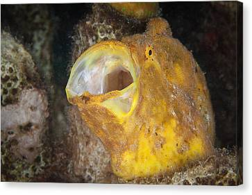 Frogfish Canvas Print