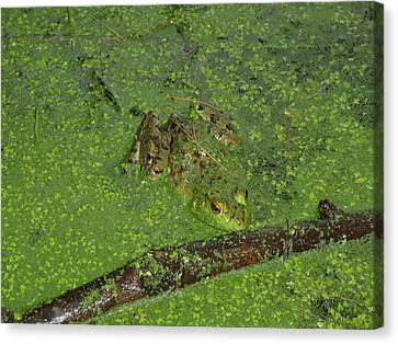 Canvas Print featuring the photograph Froggie by Robert Nickologianis